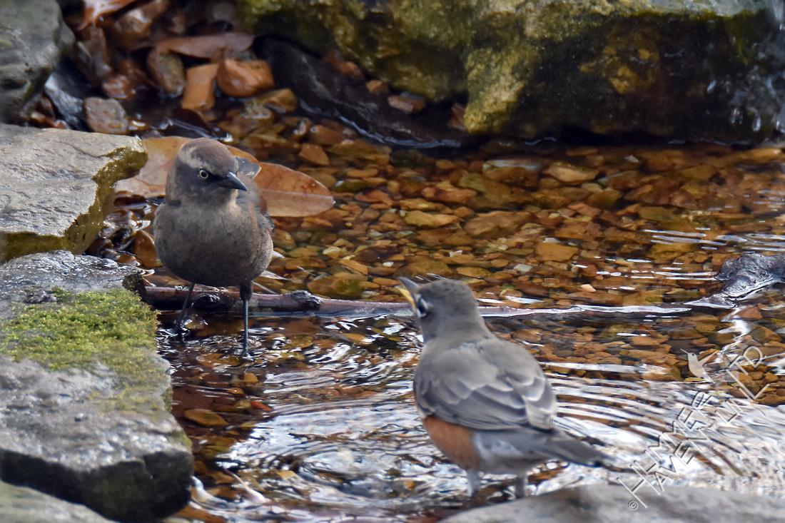 Rusty Blackbird and American Robin  12-3-17