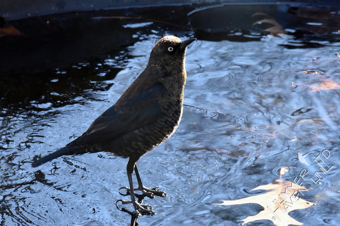 Rusty Blackbird  12-8-17