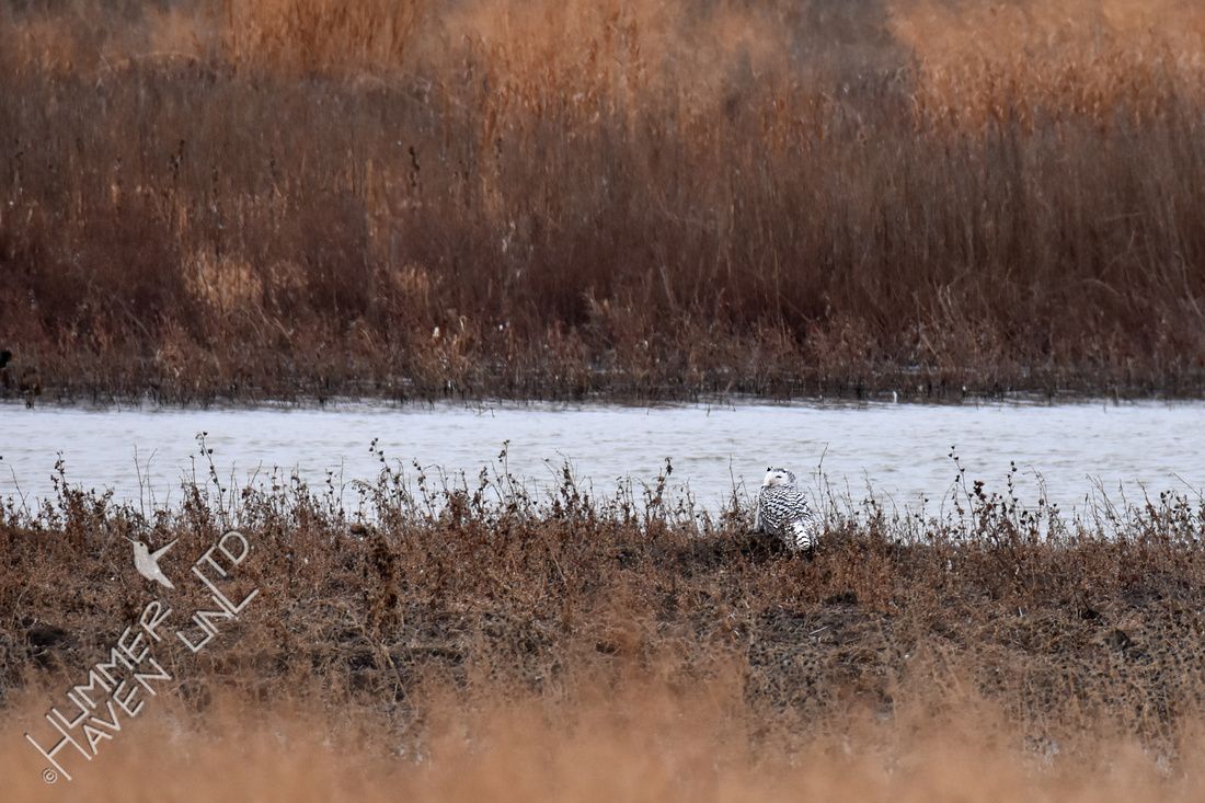 Snowy Owl at Riverlands  12-18-17
