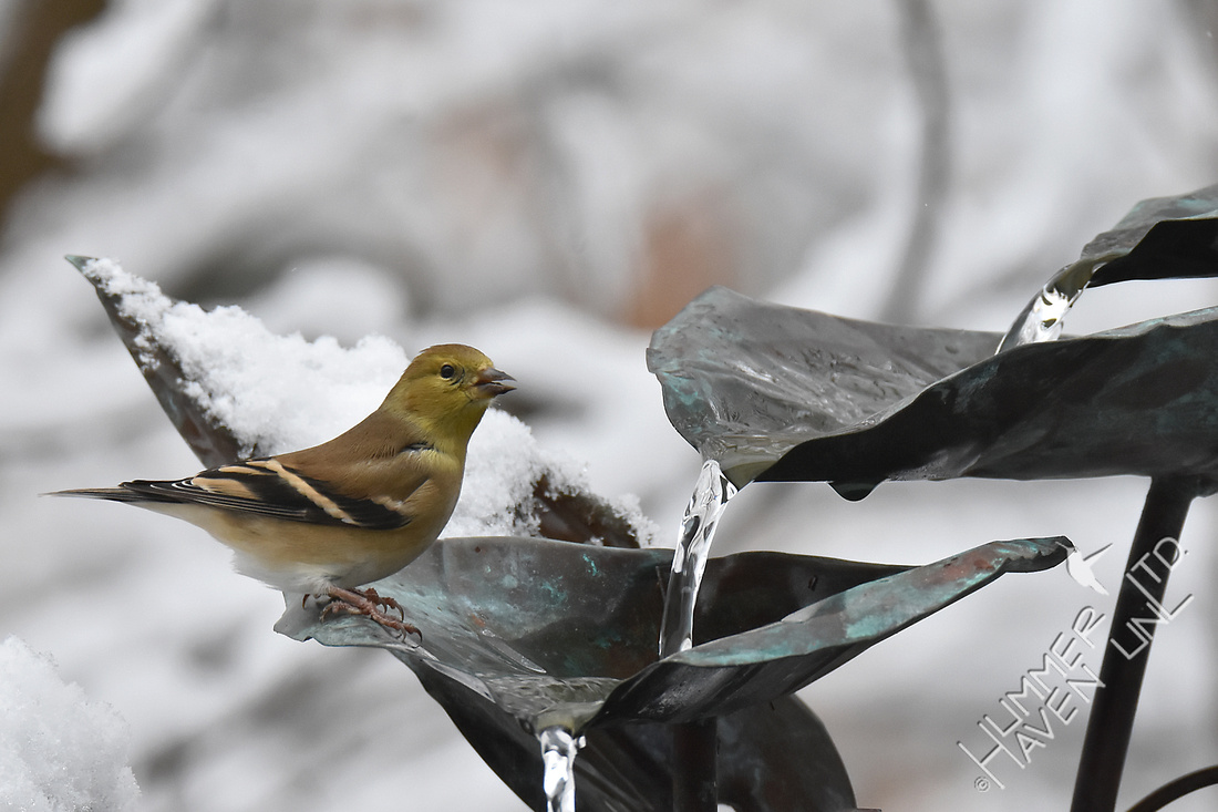 American Goldfinch  12-23-17