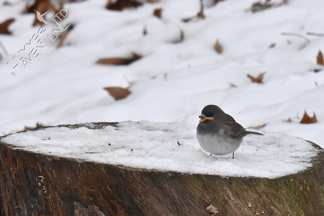 Dark-eyed Junco with mealworm  12-26-17