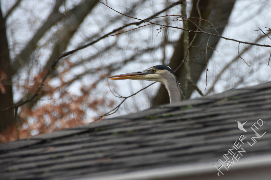 Great Blue Heron on our roof 1-11-18