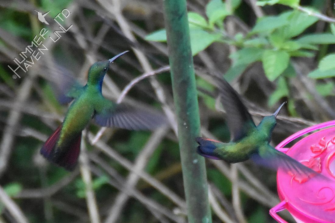 Black-throated Mangoes 1-26-18