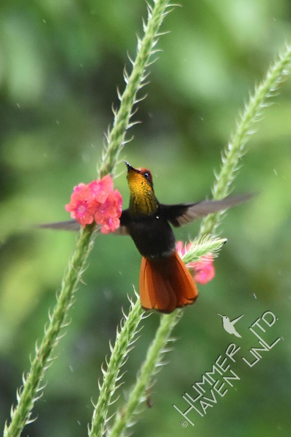 Ruby-topaz Hummingbird 1-31-18
