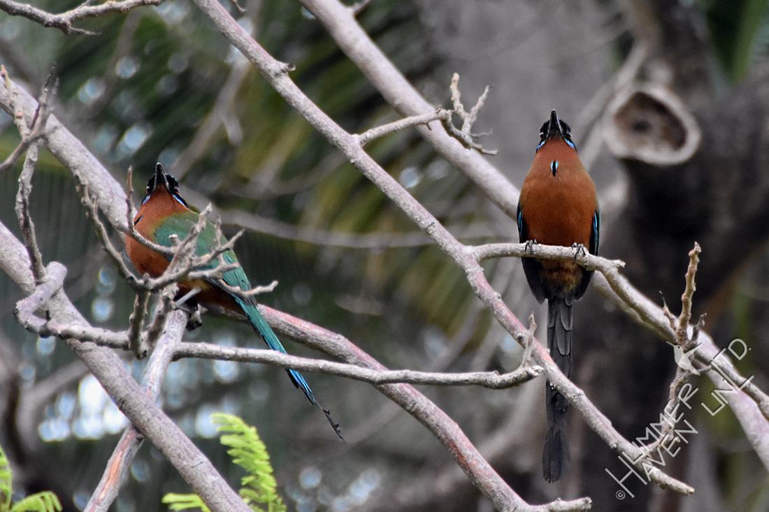 Trinidad Motmot pair 2-2-18