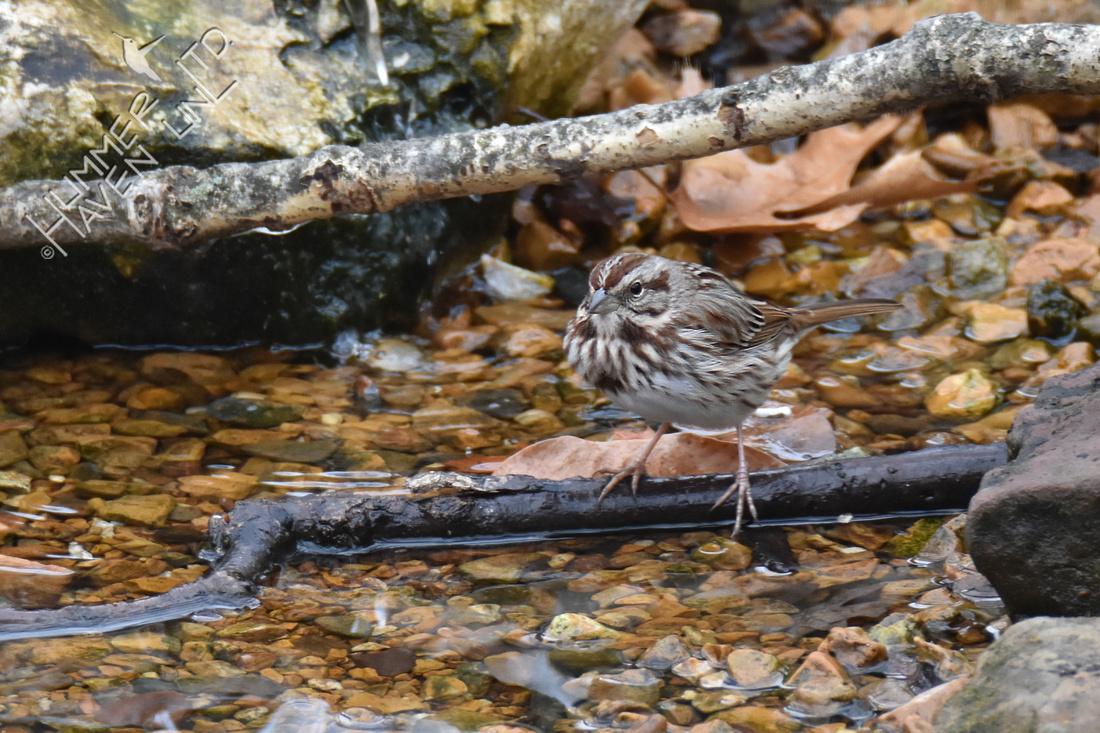 Song Sparrow 2-10-18