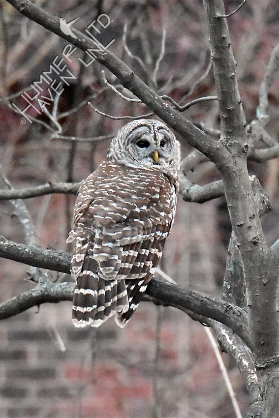 Barred Owl 3-4-18