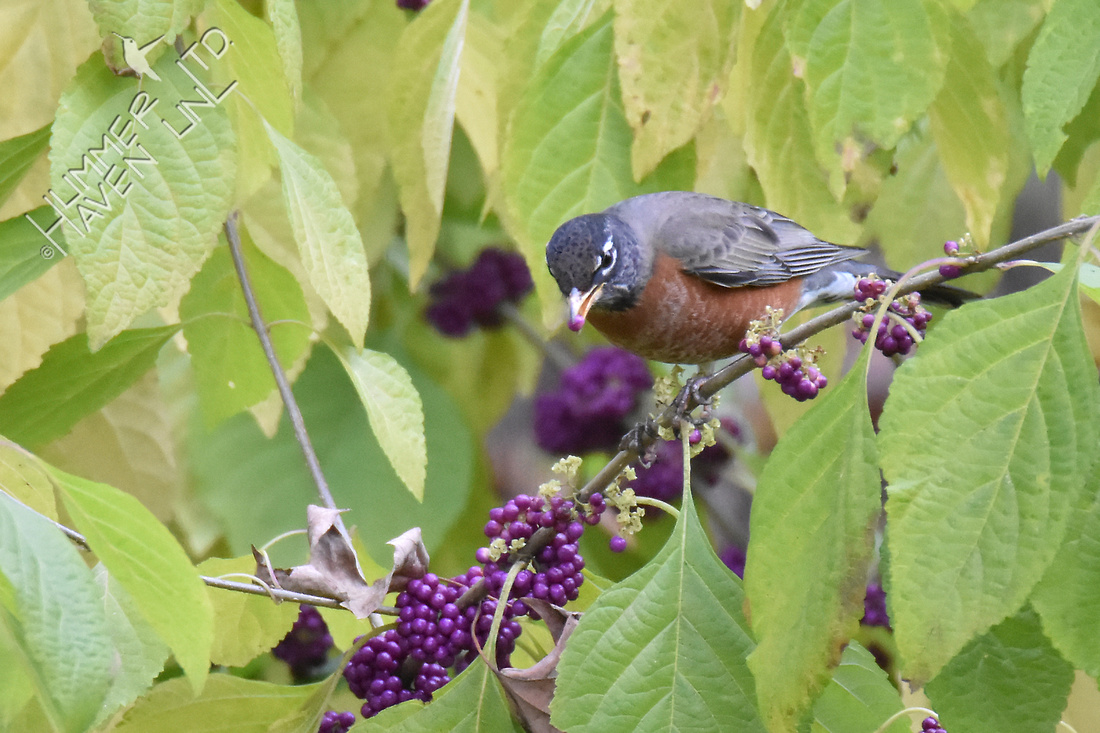American Robin eating Beautyberries (Callicarpa americana)  11-5-16
