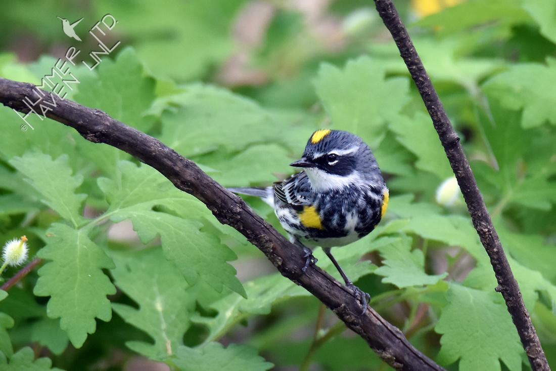 Yellow-rumped Warbler 4-17-17