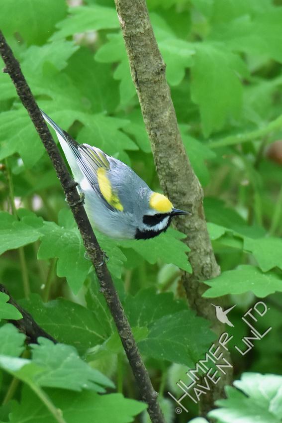 Golden-winged Warbler 5-5-17