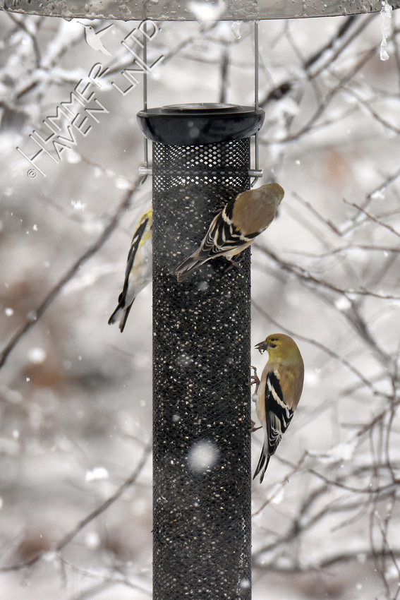 3-11-18 American Goldfinches in snow