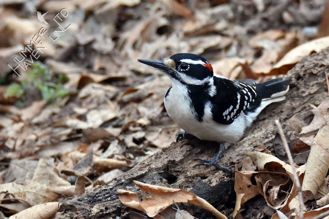 Hairy Woodpecker eating flying ants 3-22-18