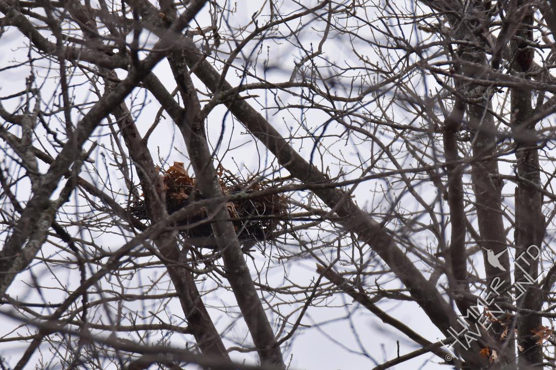 Red-shouldered Hawks nest 3-25-18