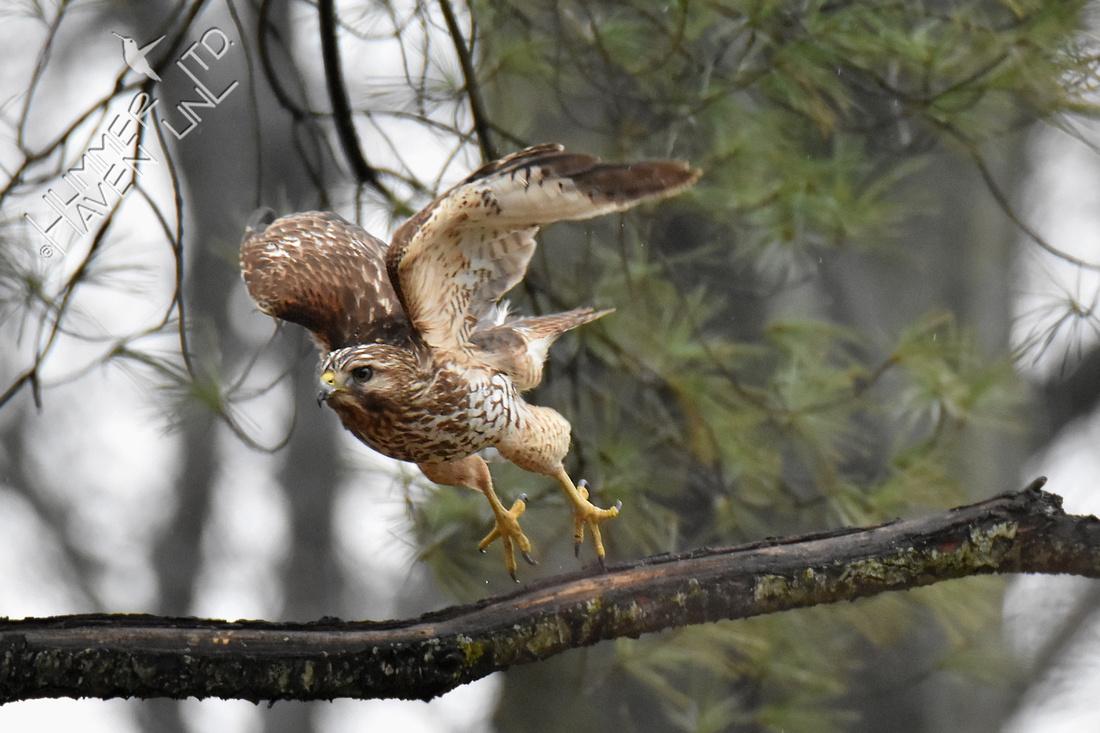 Red-shouldered Hawk female 3-26-18