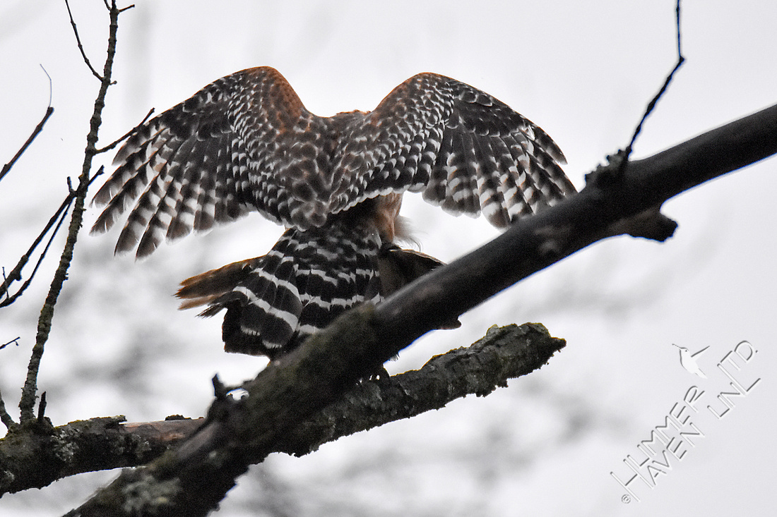 Red-shouldered Hawk pair mating 3-26-18
