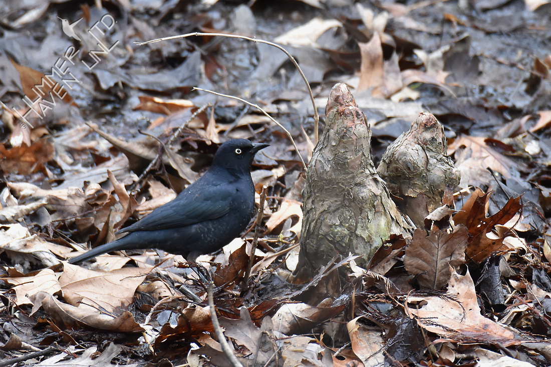 Rusty Blackbird 4-6-18