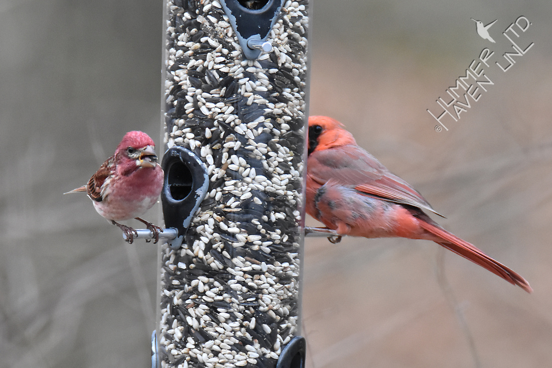 Purple Finch and Northern Cardinal 4-8-18