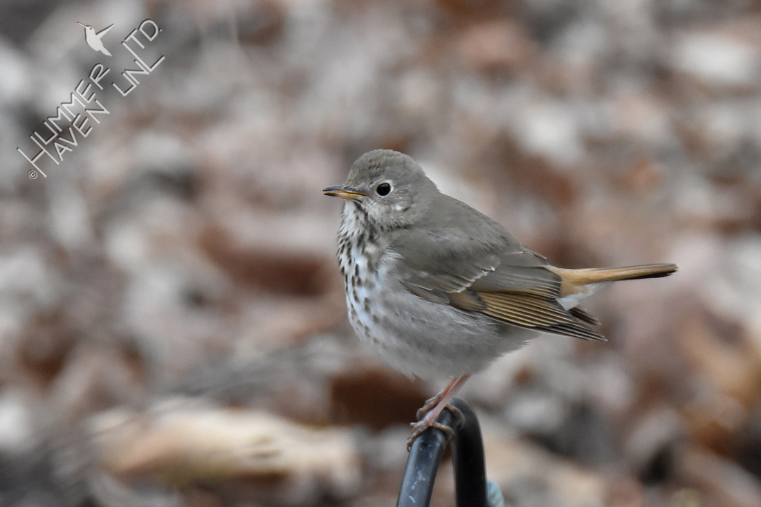Hermit Thrush singing tail up 4-8-18