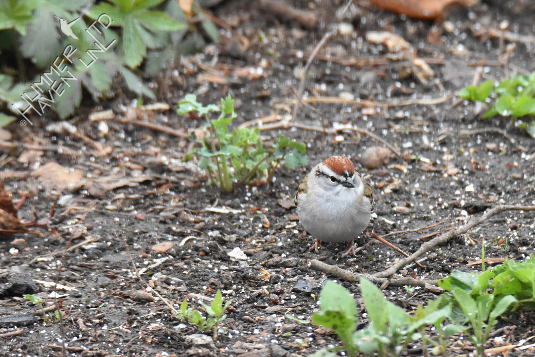 Chipping Sparrow 4-16-18