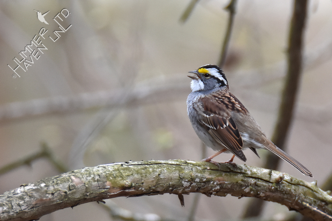 White-throated Sparrow singing 4-22-18