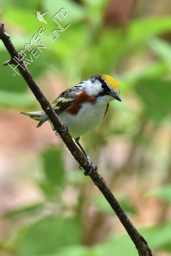 Chestnut-sided Warbler 5-4-18
