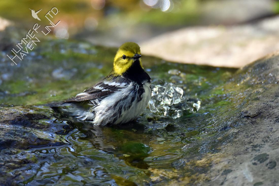 Black-throated Green Warbler 5-5-18