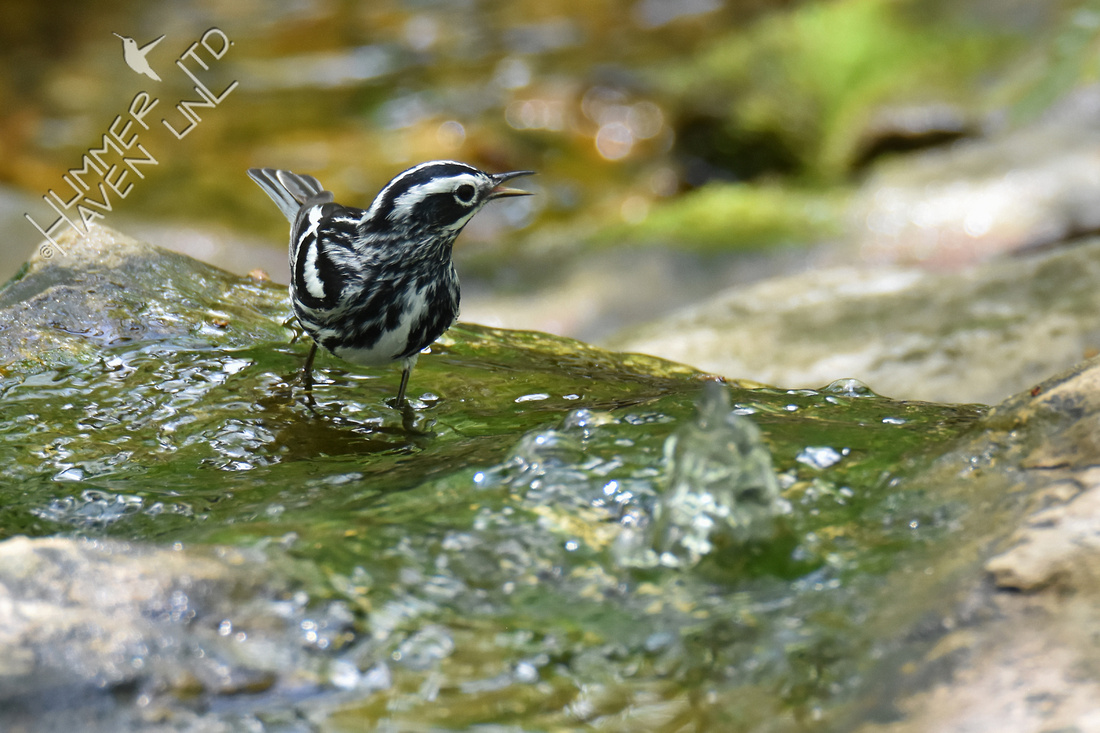 Black and White Warbler 5-6-18