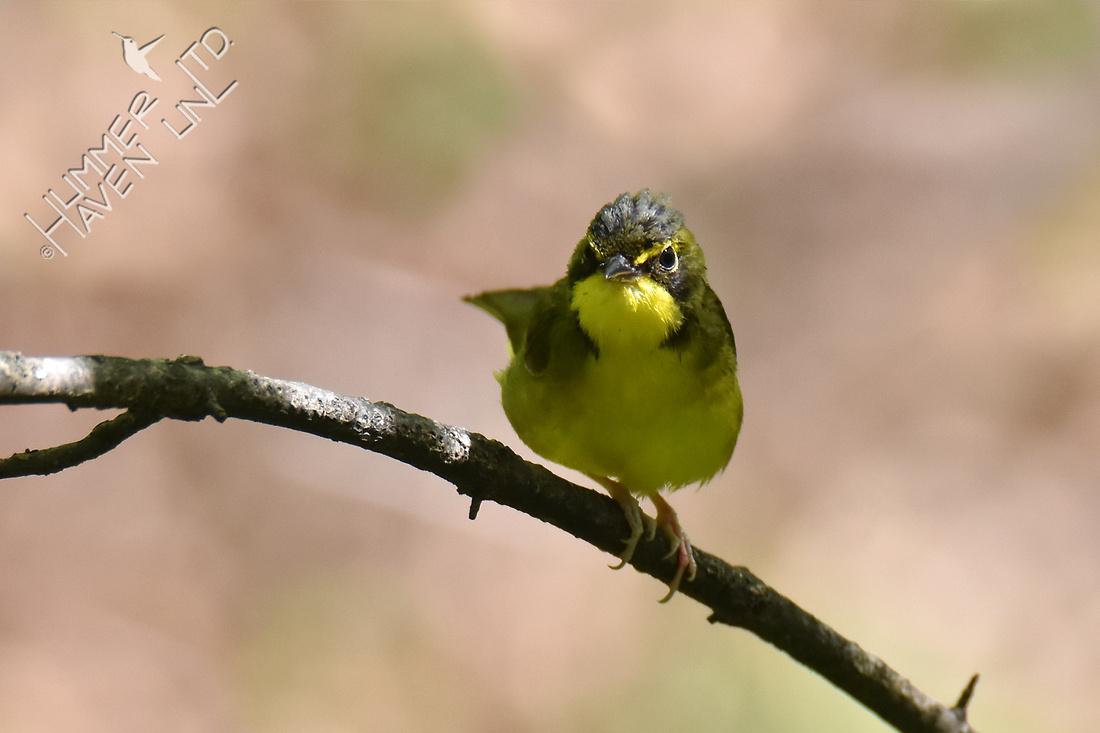 Kentucky Warbler 5-8-18