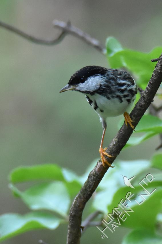 Blackpoll Warbler 5-10-18