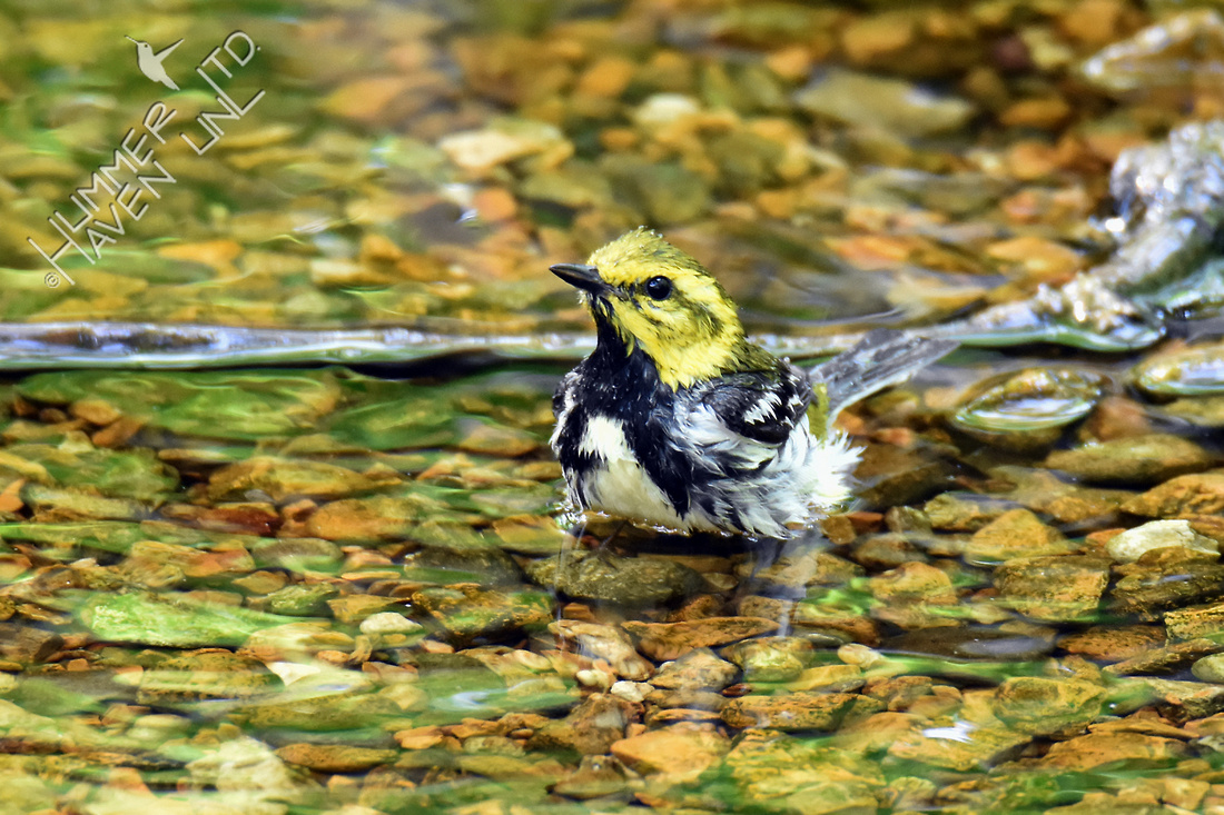 Black-throated Green Warbler 5-11-18