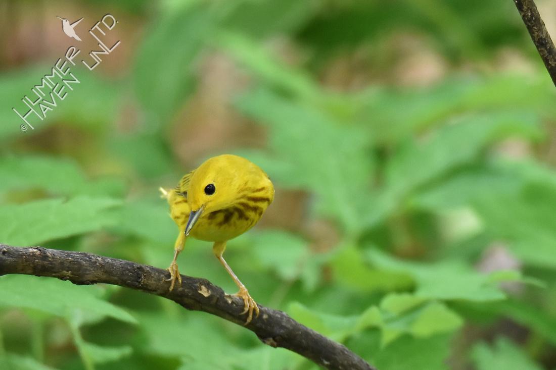 Yellow Warbler 5-11-18