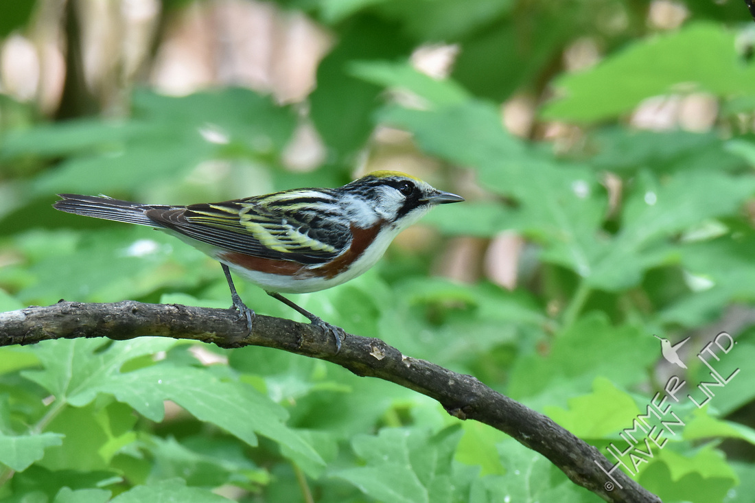 Chestnut-sided Warbler 5-12-18