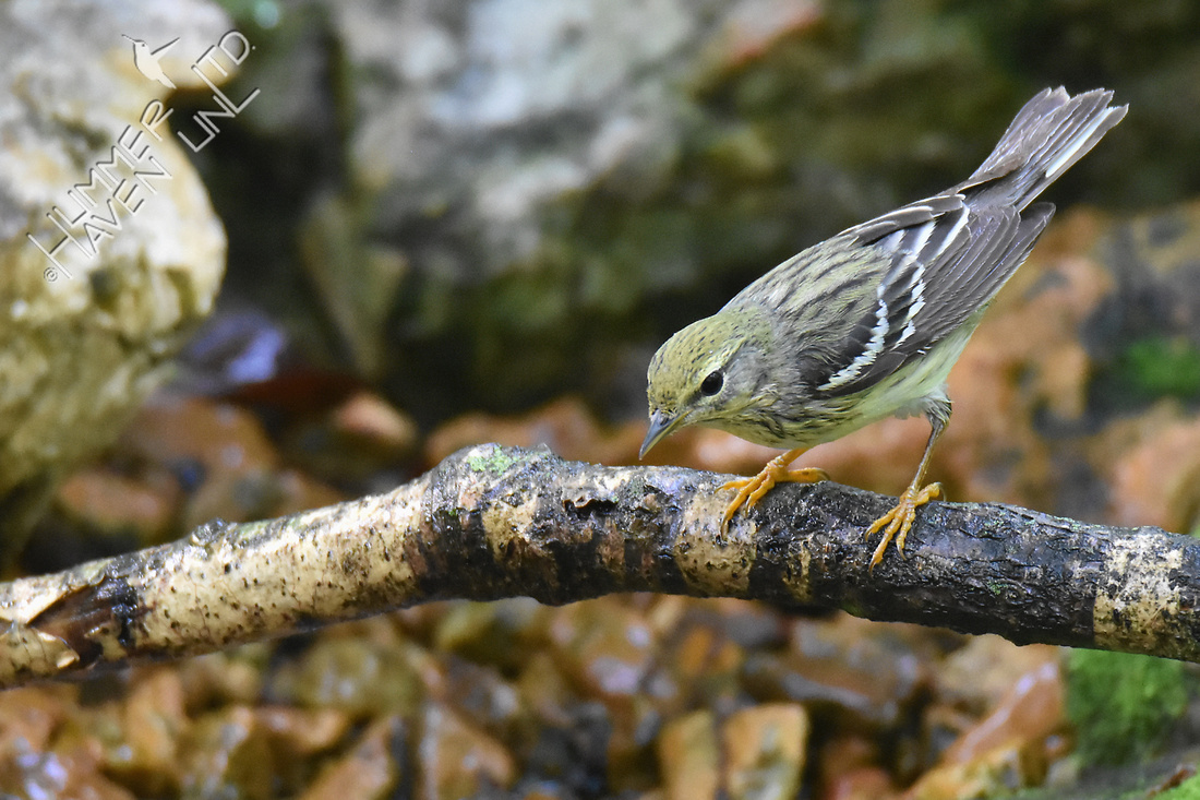 Blackpoll Warbler female 5-14-18