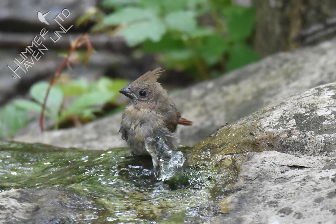 Northern Cardinal fledgling 5-29-18