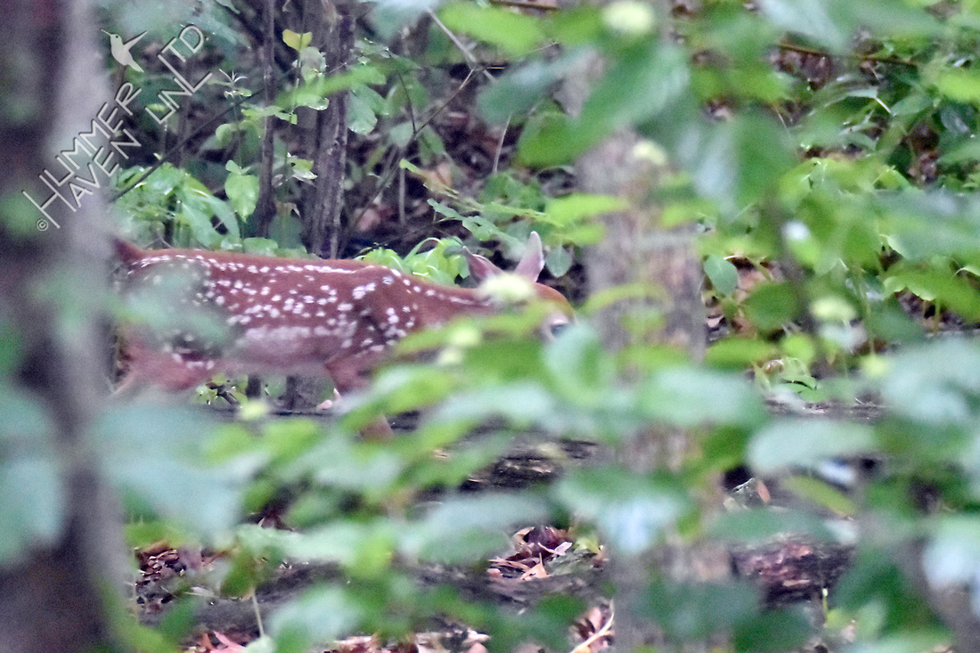 White-tailed Fawn 6-2-18