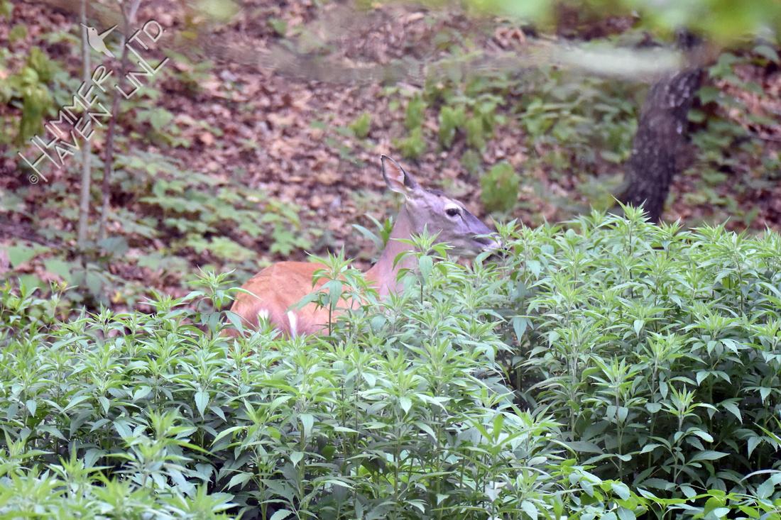 White-tailed Doe 6-1-18
