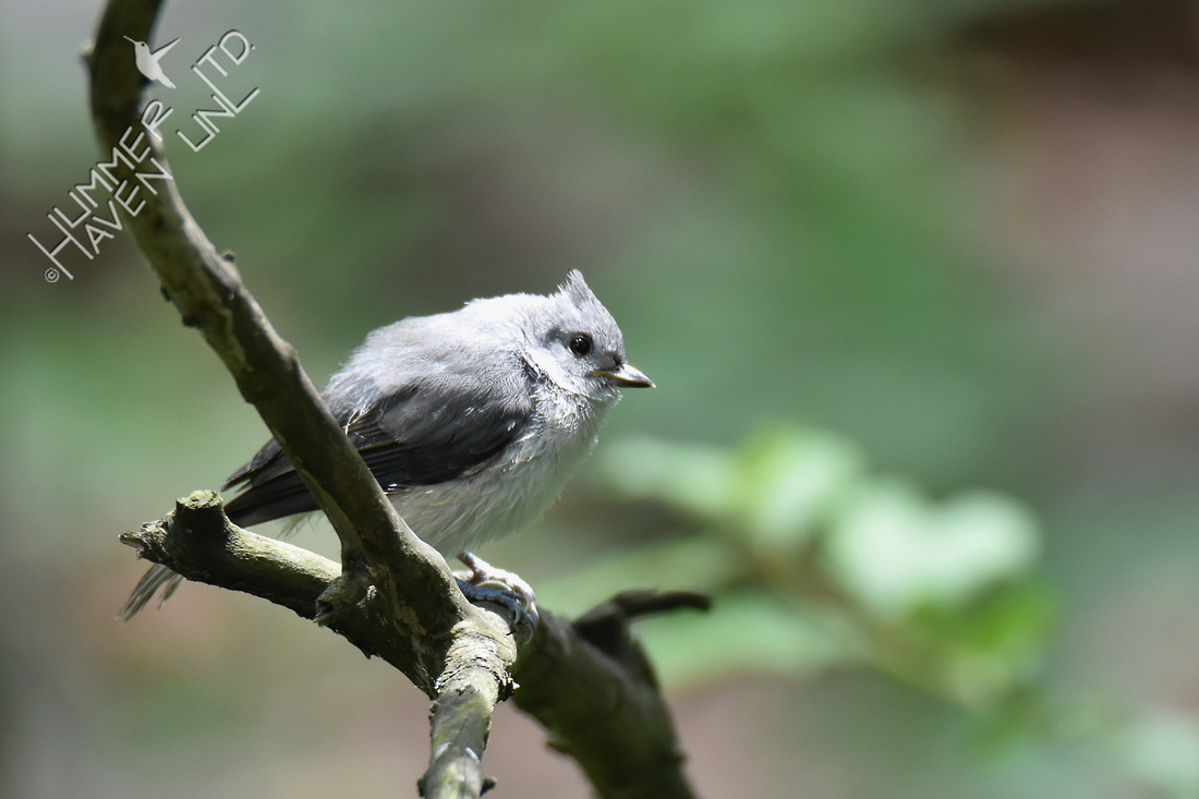 Tufted Titmouse 6-4-18