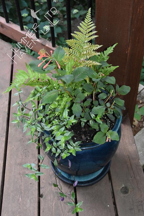 Fuchsia eaten by doe 6-7-18