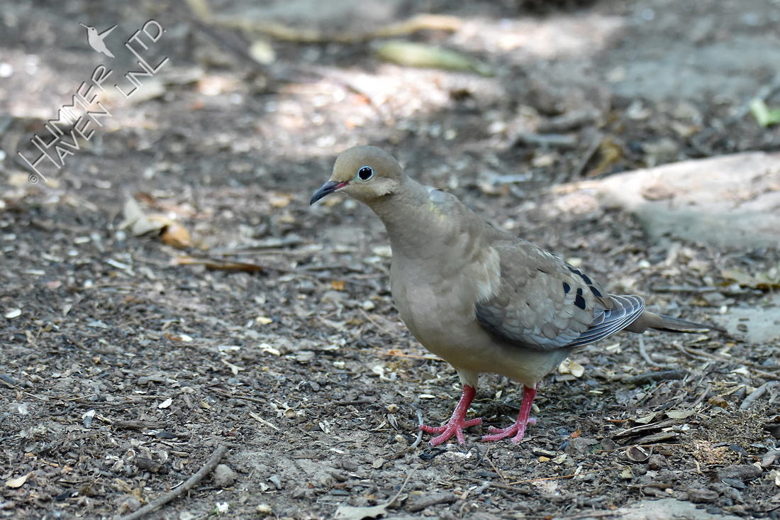Mourning Dove Poley Bubbler Pond 6-19-18