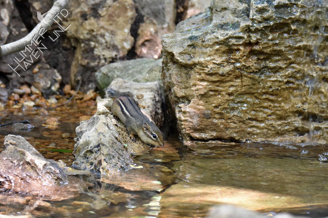 Chipmunk Poley Bubbler Pond 6-19-18