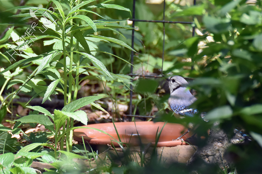 Blue Jay at Birdbath 6-19-18