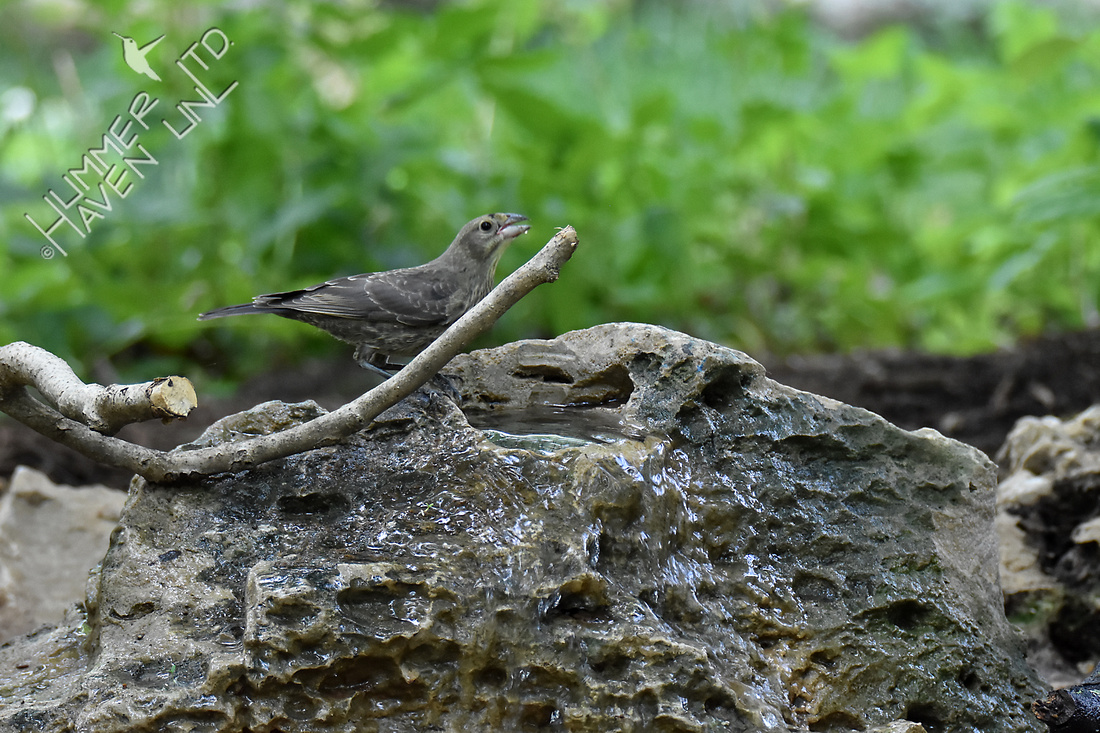Brown-headed Cowbird Poley Bubbler Pond 6-19-18