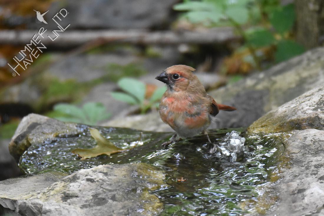 Northern Cardinal juvenile 6-13-18