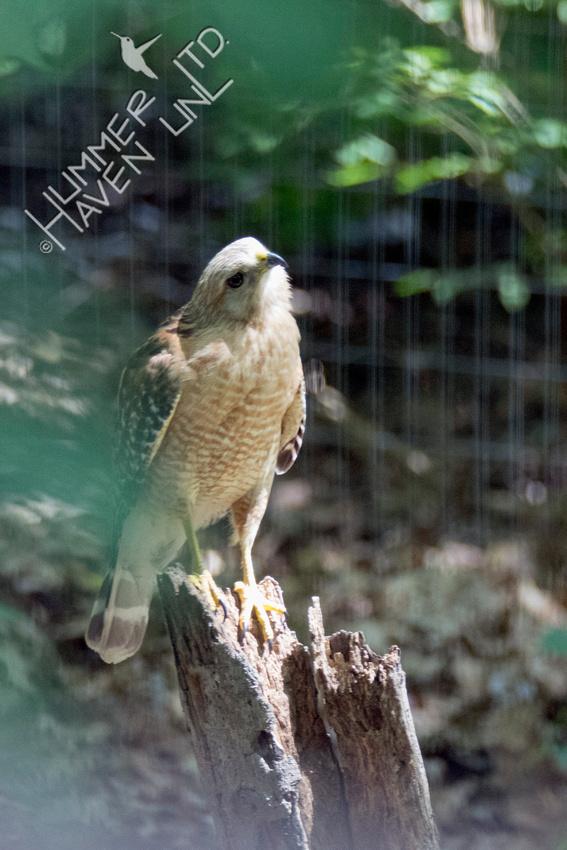 Red-shouldered Hawk 6-13-18