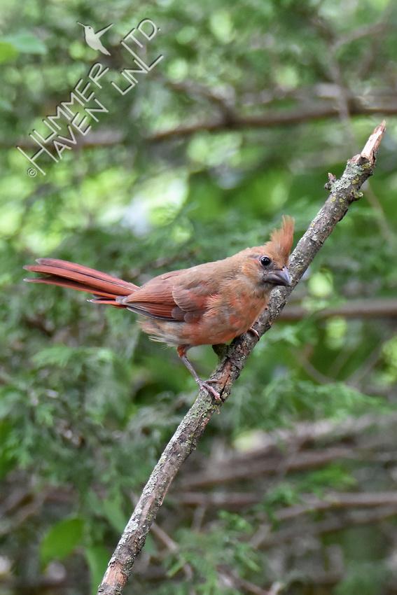Curious Northern Cardinal juvenile  6-23-18
