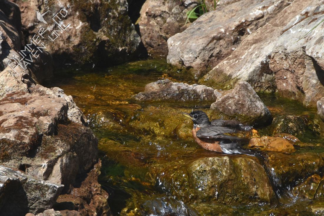 American Robin bathing in Brightside Water Feature 6-7-17