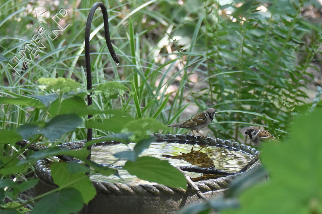 Pair of Eurasian Tree Sparrows 7-13-18