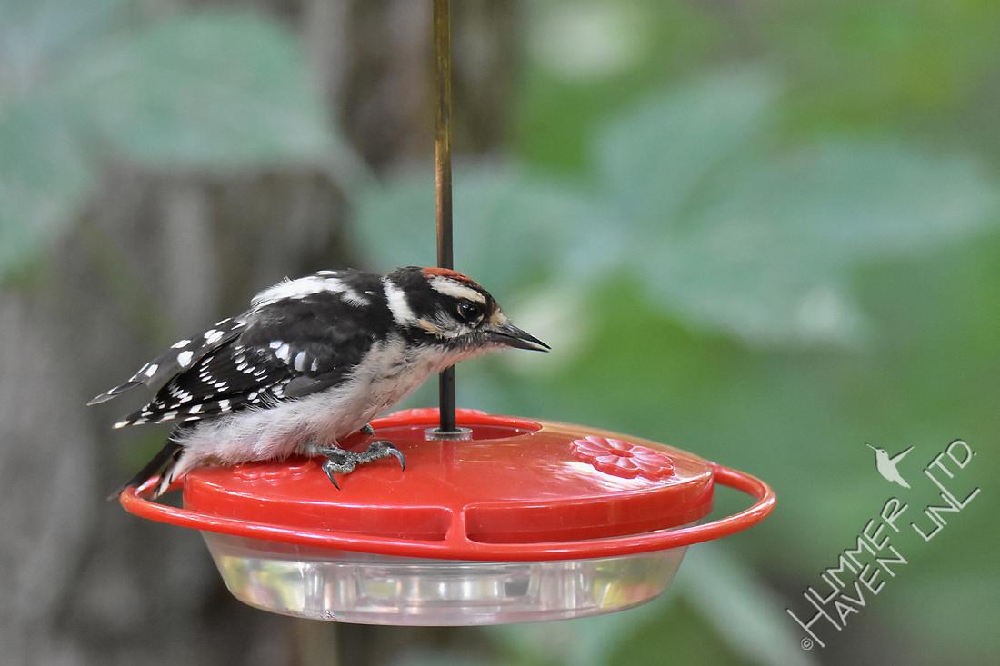 Downy Woodpecker juvenile 7-14-18