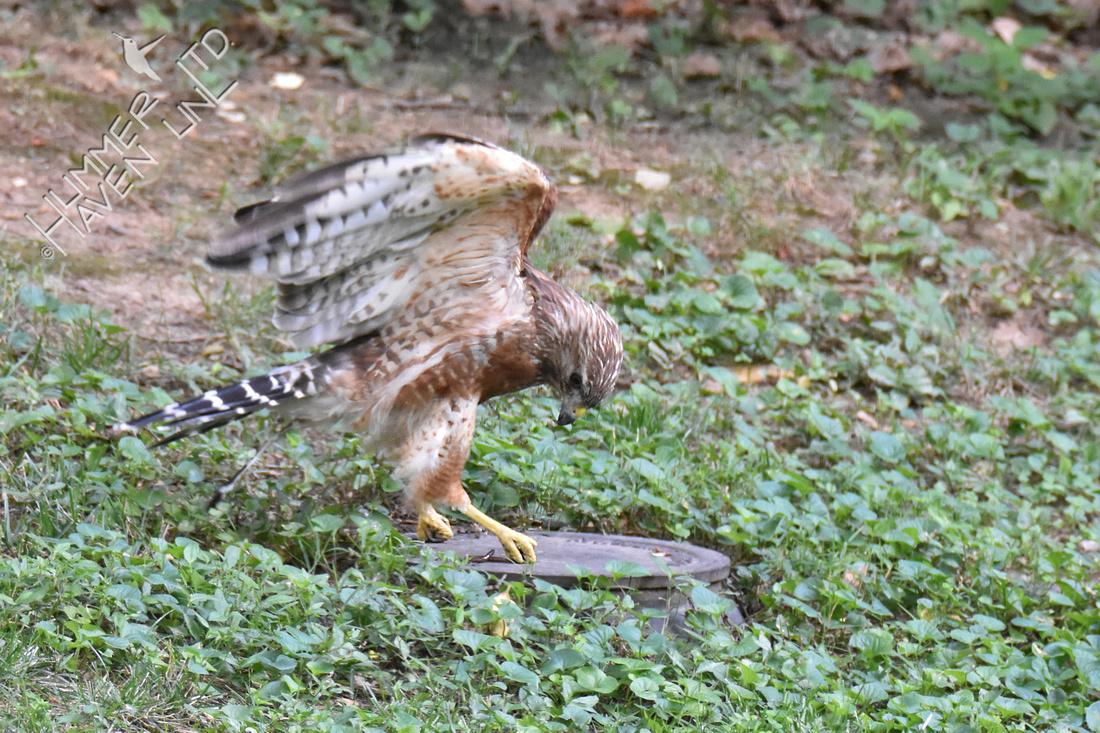 Red-shouldered Hawk  7-19-18