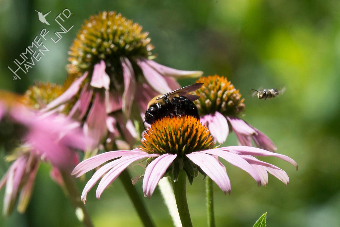 Bumblebee on Purple Coneflower  7-23-18